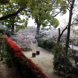 ゆめあまみから眺める桜の木が綺麗です。